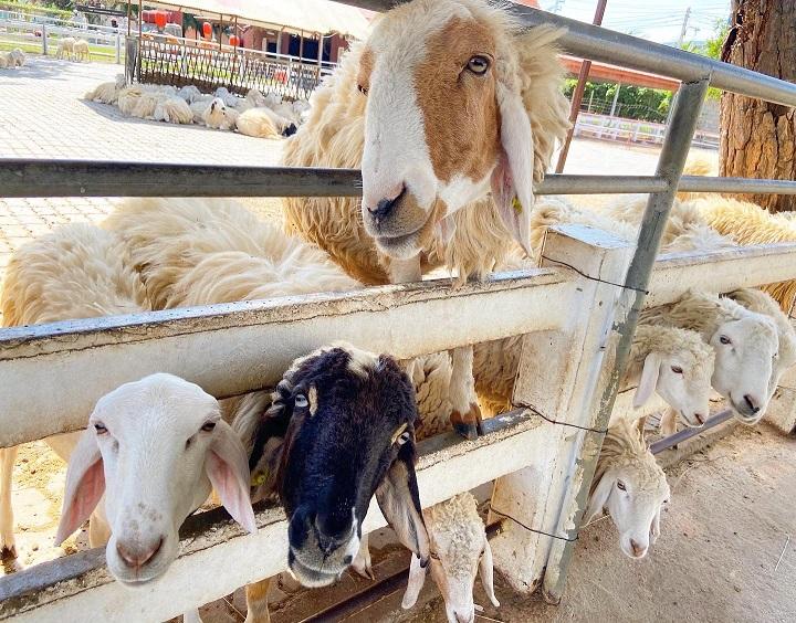 スイスシープファーム・チャアム-タイ 羊さんエリア